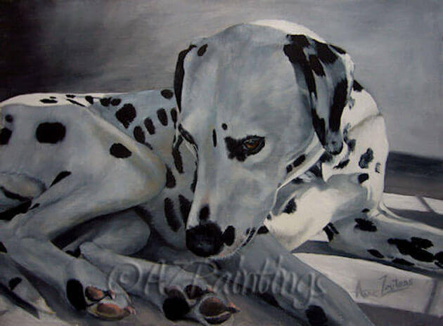 A Dalmatian dreaming of the good days