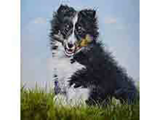 Cheeky - an oil painting of a cheeky Sheltie puppy